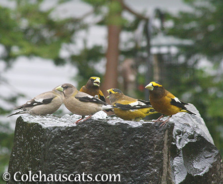 Grosbeaks bathing - 2015 © Colehauscats.com