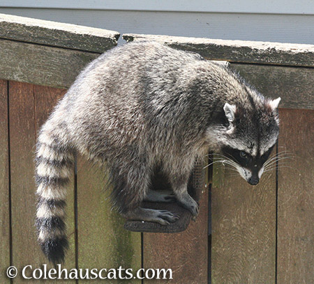 Lily the raccoon - 2015 © Colehauscats.com