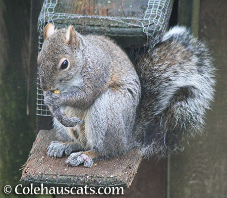 Limpy the Squirrel doing well - 2015 © Colehauscats.com