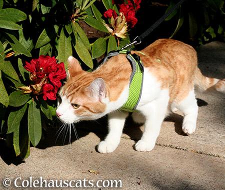 Quint finds summer red - 2015 © Colehauscats.com