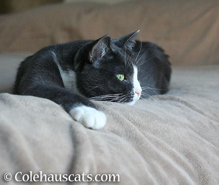Tessa - 2015 © Colehauscats.com