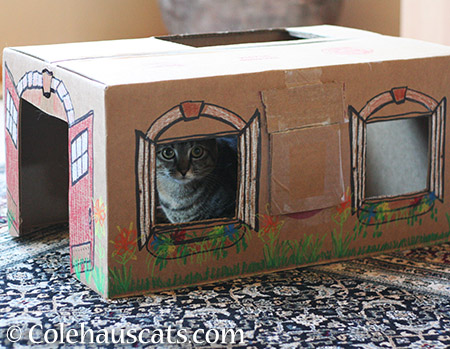 Viola prefers fine carpet with her box house - 2015 © Colehauscats.com