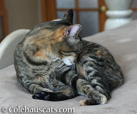 Sleepy Nose Tuck - 2015 © Colehauscats.com