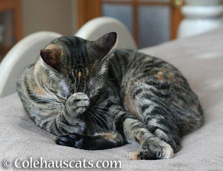 Embarrassed Viola - 2015 © Colehauscats.com