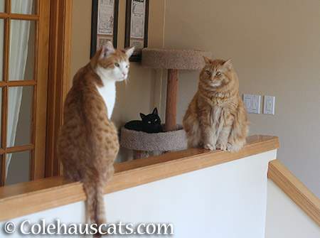Quint, Olivia (on cat tower), and Pia judging her brother - 2015 © Colehauscats.com