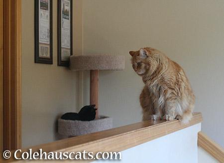 Pia making sure Quint stays down - 2015 © Colehauscats.com