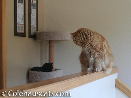 Watching Quint - 2015 © Colehauscats.com