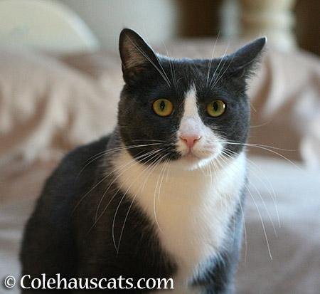 Tuxie Tessa - 2015 © Colehauscats.com