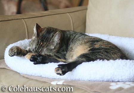Viola sleeping - 2015 © Colehauscats.com