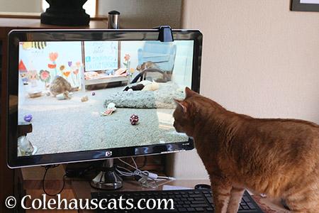 Zuzu's Internet habit - 2015 © Colehauscats.com