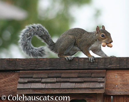 Double nutty squirrel - 2015 © Colehauscats.com