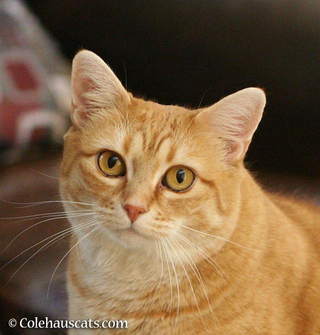 Mommacat Zuzu - 2015 © Colehauscats.com