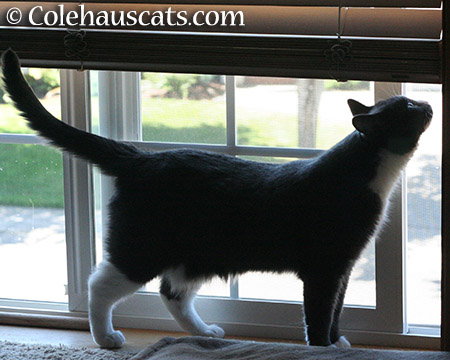 TessaWhiffies - 2015 © Colehauscats.com