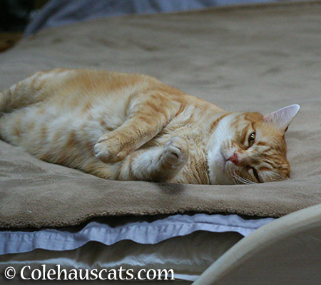 Almost sleepy girl Zuzu - 2015 © Colehauscats.com