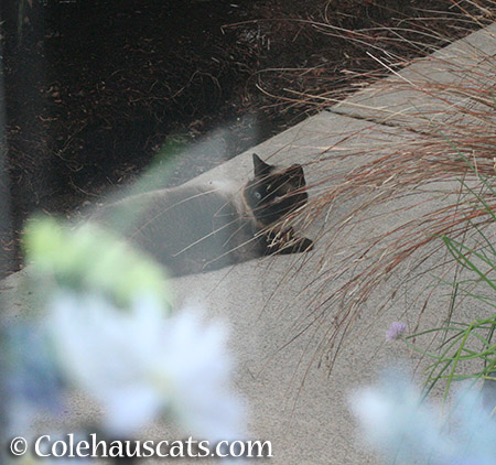 Cocoa enjoying the garden - 2015 © Colehauscats.com
