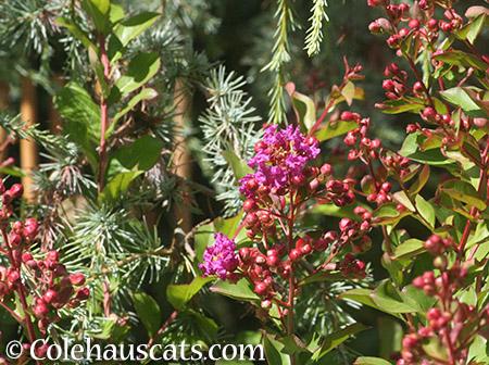 Fall Crepe Myrtle - 2015 © Colehauscats.com