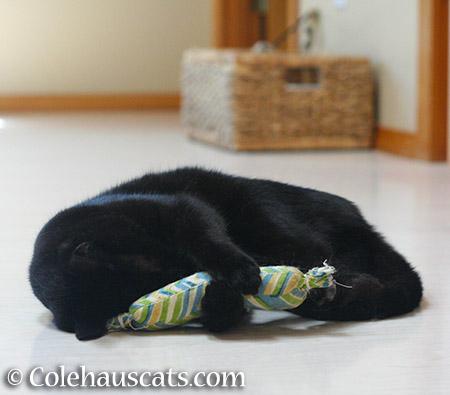 Sleepy girl Olivia - 2015 © Colehauscats.com