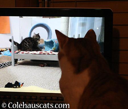 Quint watching Kitten TV - 2015 © Colehauscats.com