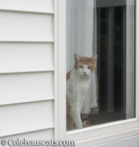 Quint at the window - 2015 © Colehauscats.com