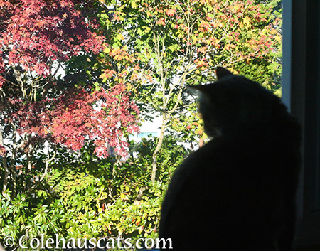 Ruby watching fall leaves - 2015 © Colehauscats.com
