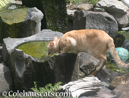 Neighbor cat Whittles' personal water fountain - 2015 © Colehauscats.com