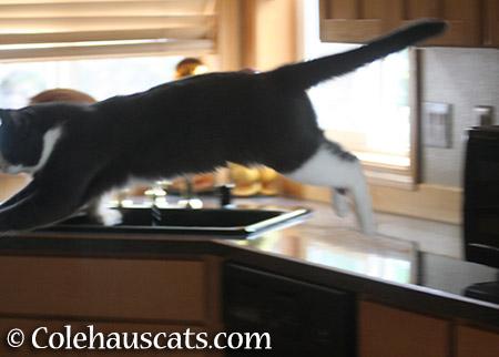 Flying - 2015 © Colehauscats.com