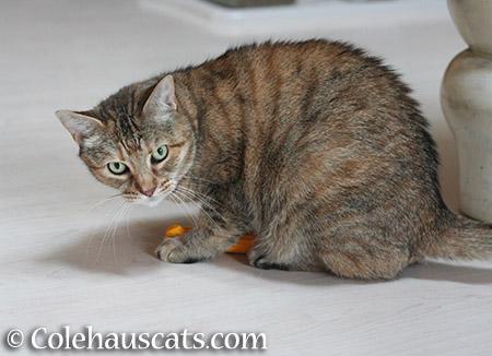Ruby - 2015 © Colehauscats.com
