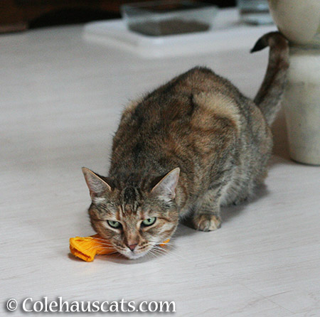 Ruby and her toy - 2015 © Colehauscats.com