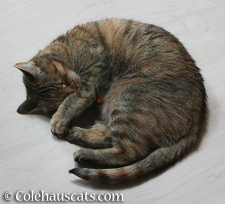 Toy playing step sleep - 2015 © Colehauscats.com
