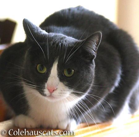 A very serious Tessa - 2015 © Colehauscats.com