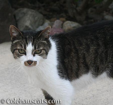 Mustacheo - 2015 © Colehauscats.com