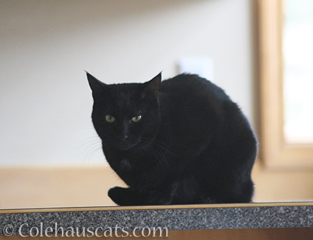 Counter Seal Olivia - 2016 © Colehauscats.com