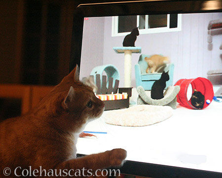 Mama Cat Zuzu watching Internet kittens - 2016 © Colehauscats.com