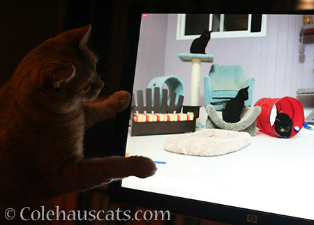 Zuzu loves Internet kittens - 2016 © Colehauscats.com