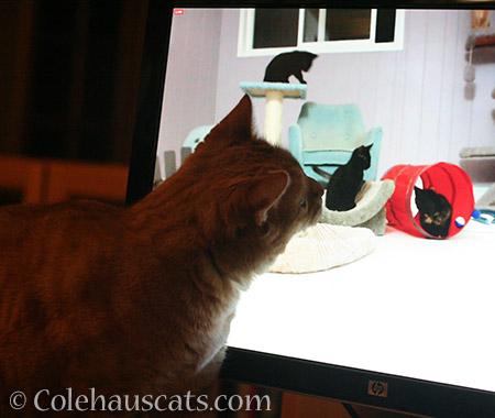 Zuzu sniffing an Internet kitten - 2016 © Colehauscats.com