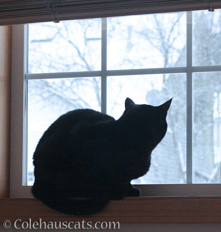 Olivia watching the snow - 2015 © Colehauscats.com