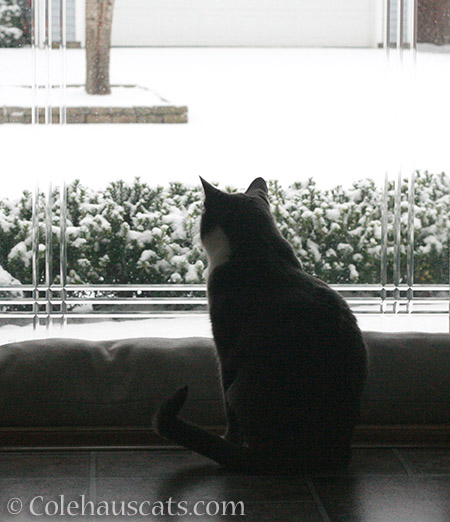 Tessa watches the snow - 2015 © Colehauscats.com