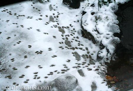 Visitor snow tracks - 2015 © Colehaus.com and Colehauscats.com