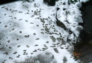 Snow tracks - 2015 © Colehaus.com and Colehauscats.com