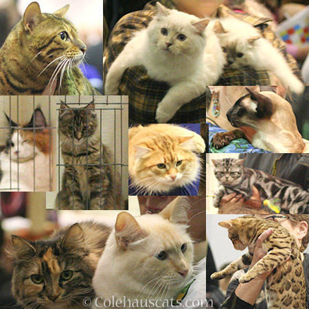 A few of the cats at the Int'l Cat Show in Portland - 2016 © Colehauscats.com
