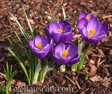 The crocus are up! - 2016 © Colehauscats.com