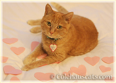 Welcome Itty, a very special Ginger girl - 2016 © Colehauscats.com