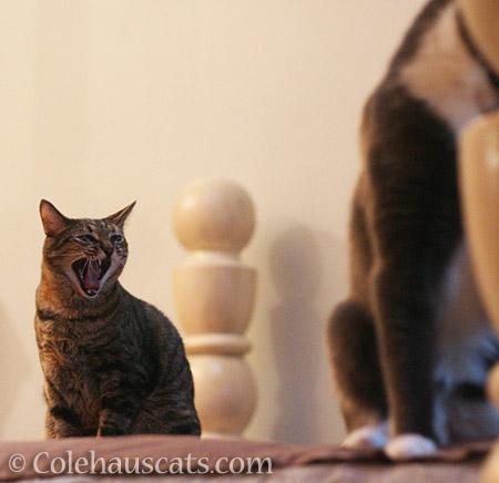Viola's annoyance at Tessa - 2016 © Colehauscats.com