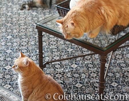 Sneaking up on Zuzu - 2016 © Colehauscats.com