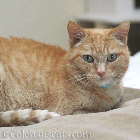 Sweet Miss Itty - 2016 © Colehauscats.com