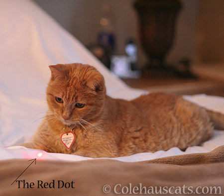 Miss Itty likes the Red Dot game - 2016 © Colehauscats.com