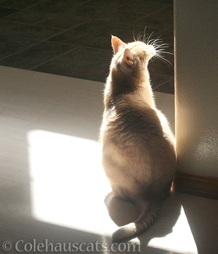 Miss Newton's sunpuddle - 2016 © Colehauscats.com