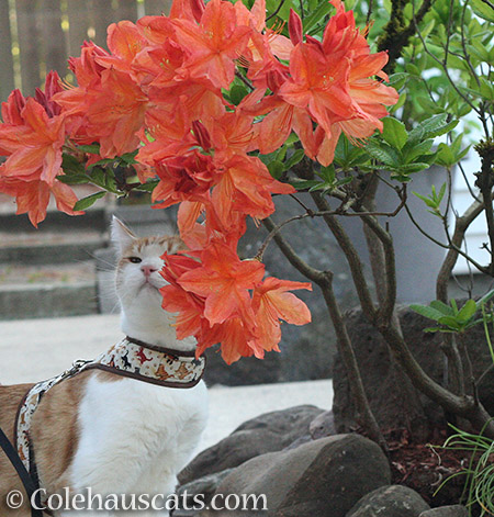Quint loves the showy azaleas - 2016 © Colehauscats.com