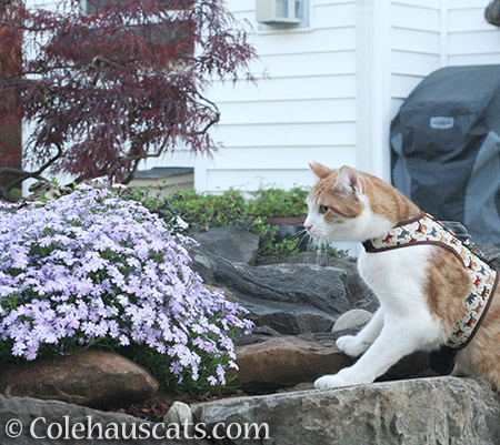 A big fan of lavender creeping phlox - 2016 © Colehauscats.com