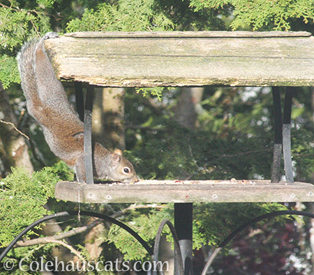 Acrobat squirrel - 2016 © Colehauscats.com